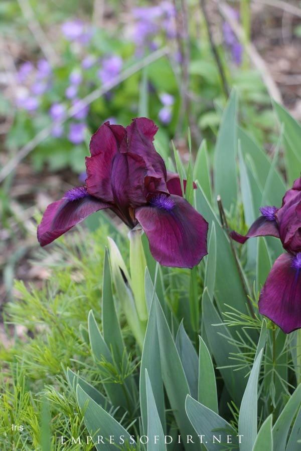 Purple iris blooms in spring garden.