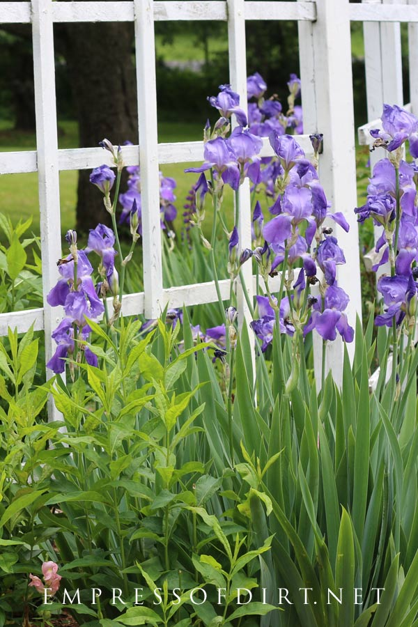 Purple iris growing by white trellis