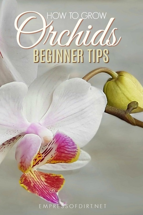 Beginner growing tips to get started with orchids as houseplants.