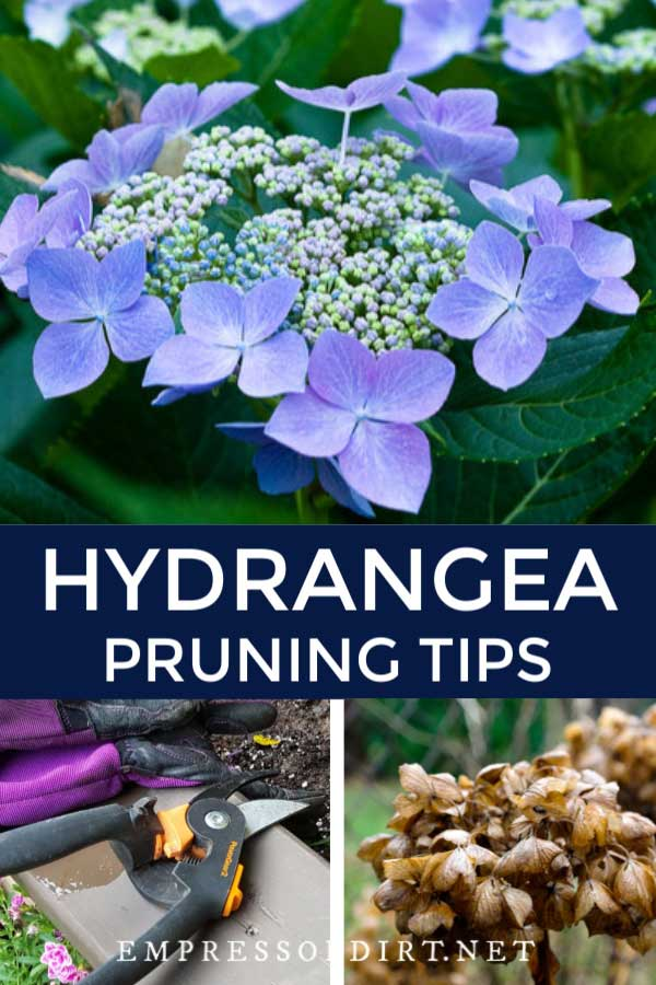 Blue hydrangea, old hydrangea bloom, and pruners.