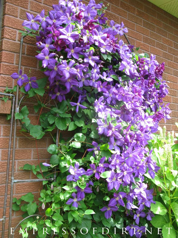 Purple power! The beauty of clematis vine at its best.