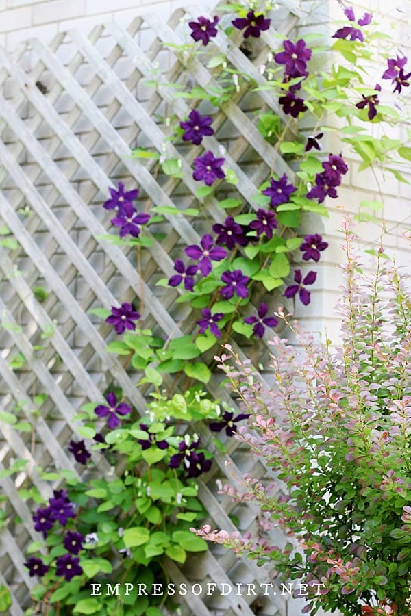 Mount your clematis trellis away from walls to allow room for growth and air circulation.