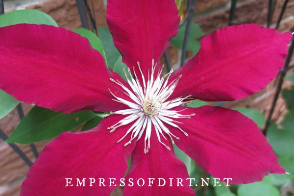 A large red clematis flower. Take cuttings for propagation from your favourite vines.
