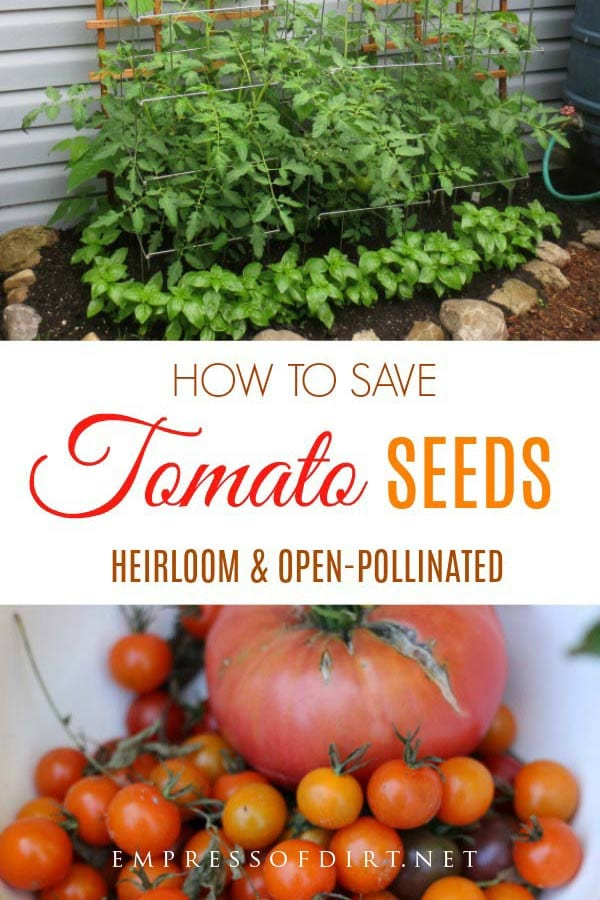 How to save seeds from heirloom tomato plants to grow more of your favorites next year.