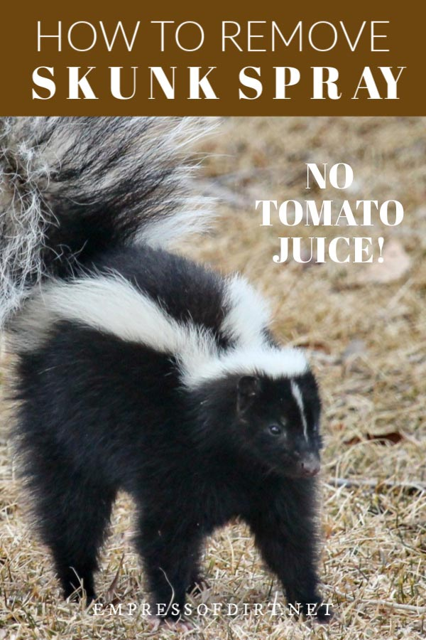How to Remove Skunk Spray (No, Not With Tomato Juice)