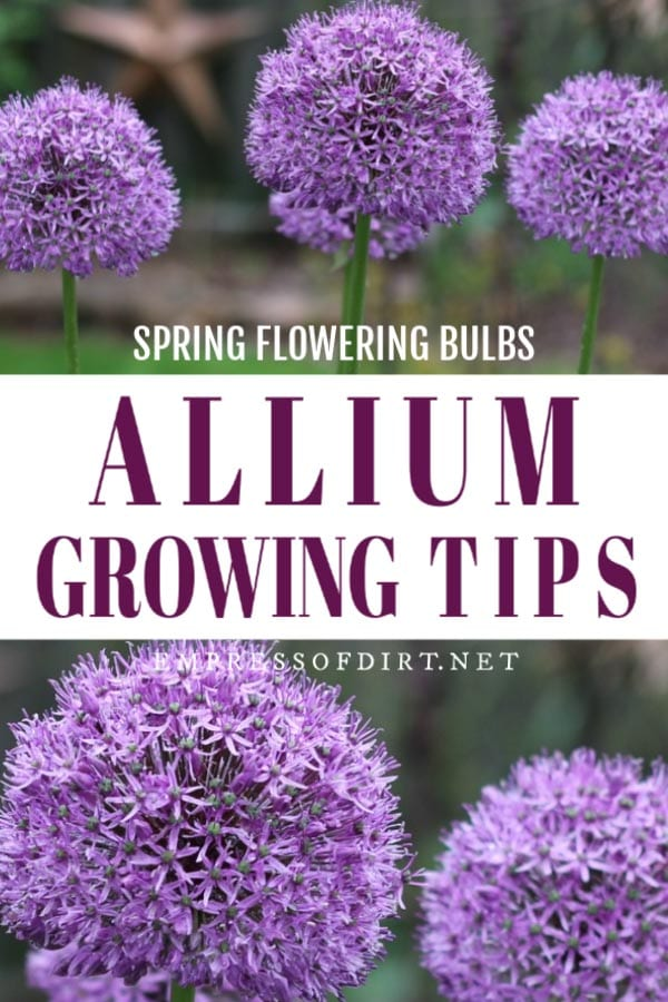 Allium growing tips.