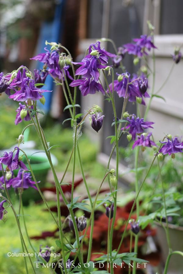 Purple columbine aquilegia blooming in late spring garden.