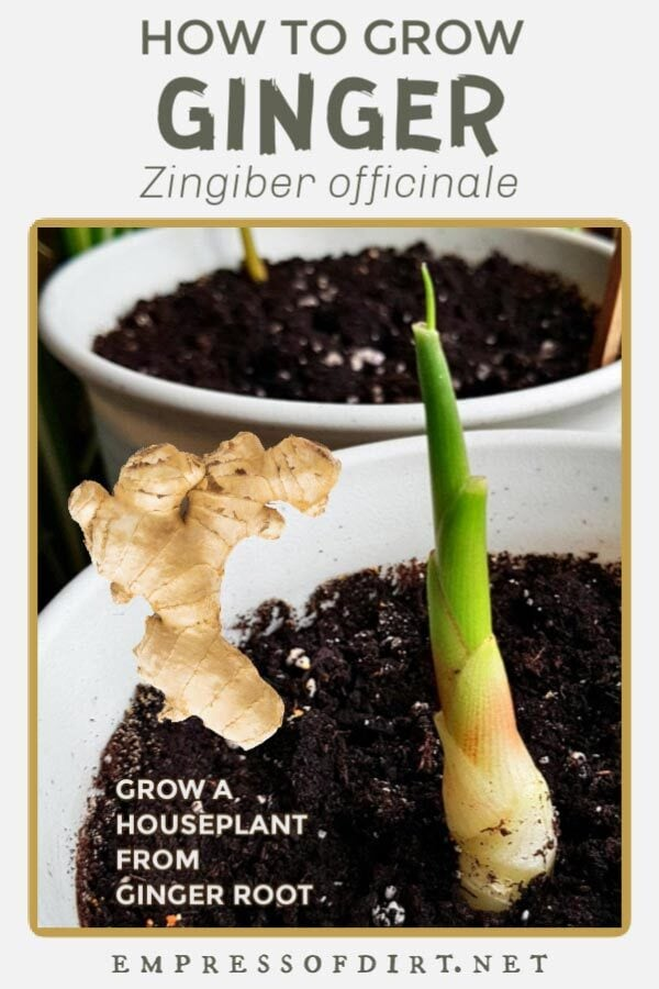 Ginger rhizome and newly sprouting ginger plant in a flower pot.