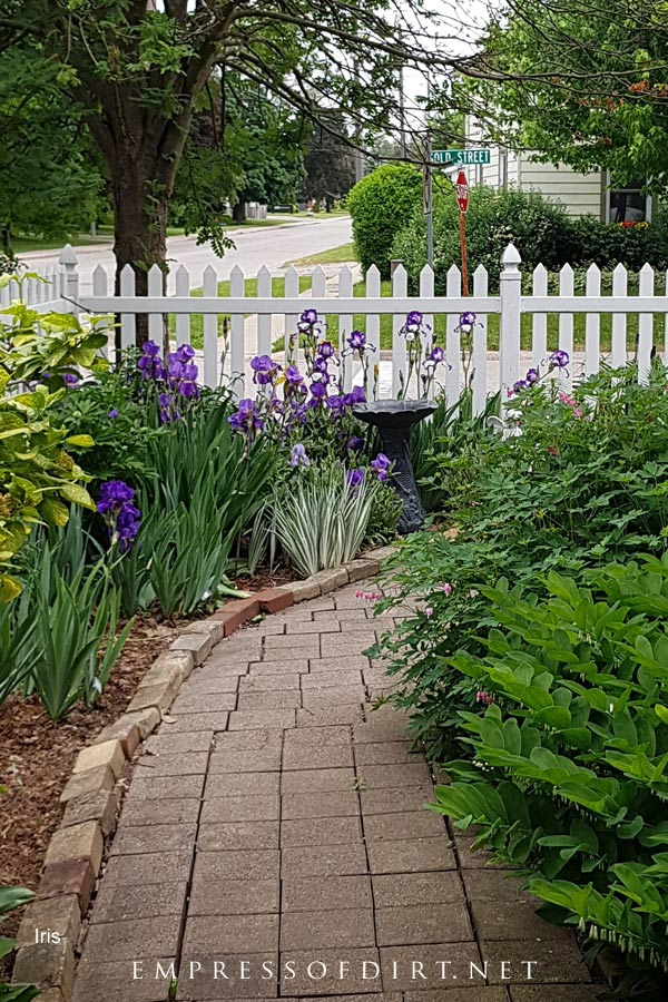 Purple and white irises blooming in late spring garden.