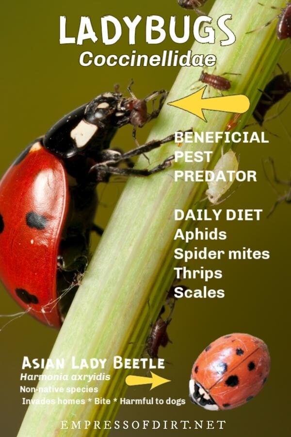 Ladybug (Coccinellidae) and Asian lady beetle.