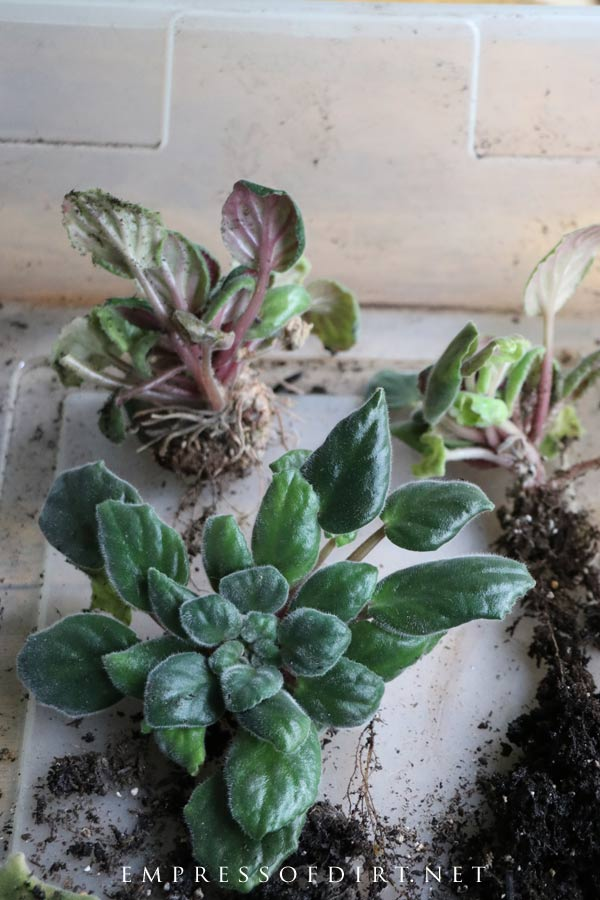 A crowded African violet plant separated into individual plants.