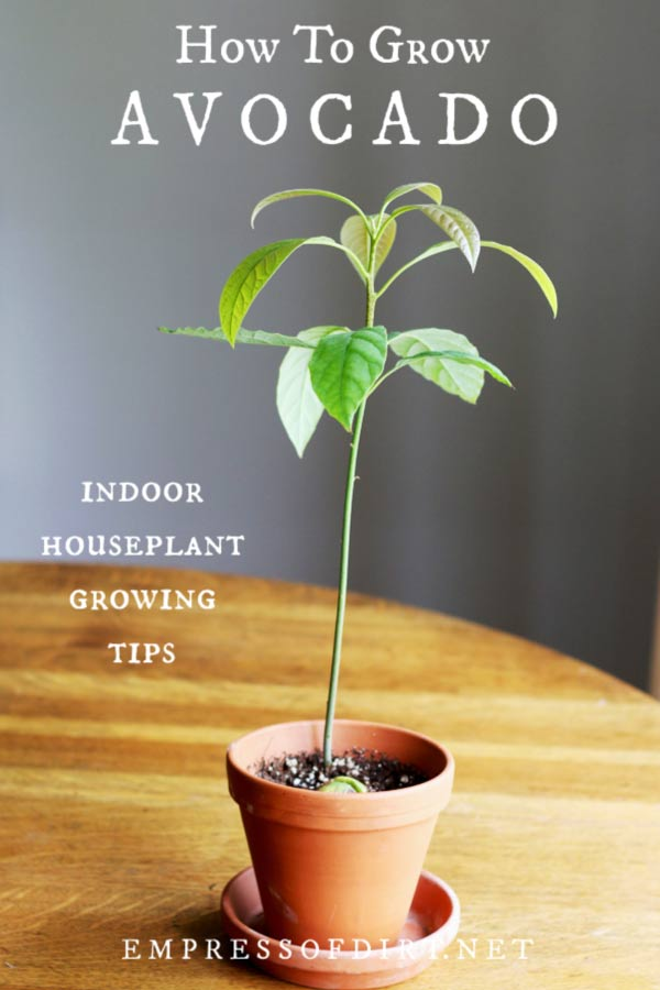 How to grow an avocado plant indoors as a houseplant.