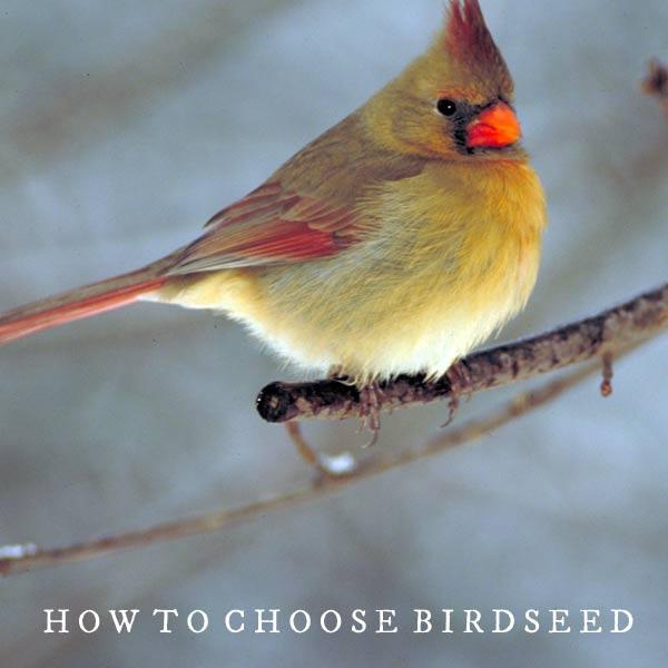 Female cardinal bird on branch