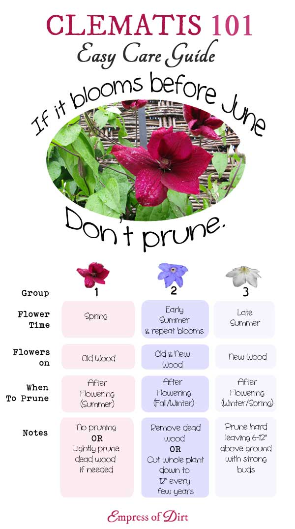 Clematis 101 easy care guide to identify and prune your vines