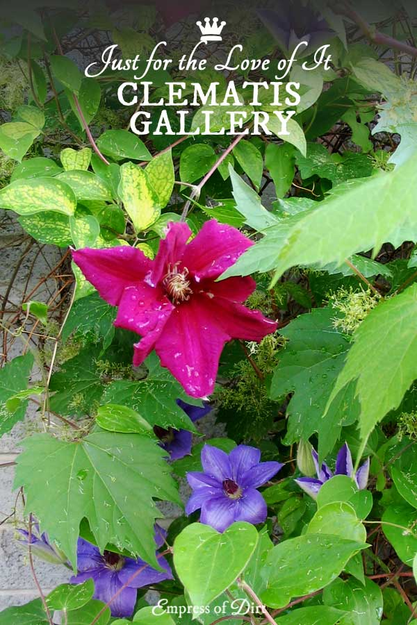 This is just a simple gallery of clematis images I love. It's such a gorgeous plant.