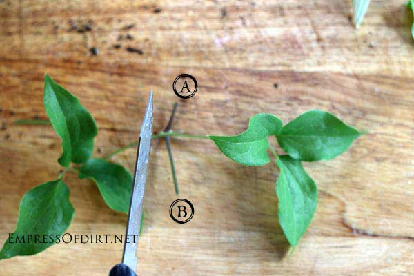 How to grow clematis from cuttings.