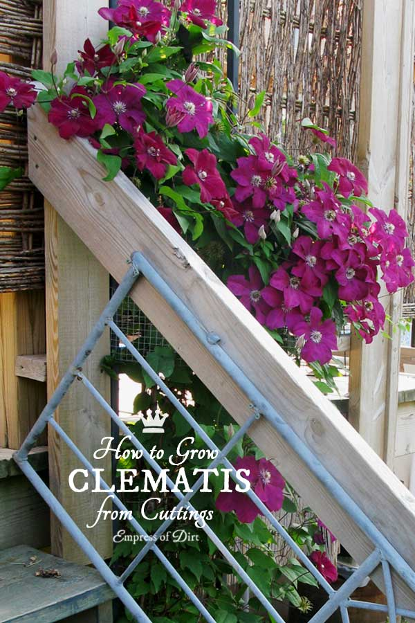 clematis-from-cuttings-c7b