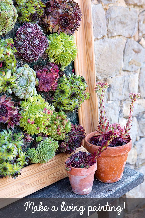 Turn succulents into living wall art with this picture frame projects. Sempervivums, also known as hens and chicks, are the perfect drought-tolerant choice for this creative gardening project. This tutorial is an excerpt from the wonderful new book, Gardening on a Shoestring: 100 Fun Upcycled Garden Projects by Alex Mitchell.