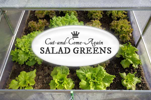 How to grow cut and come again salad greens in the home garden