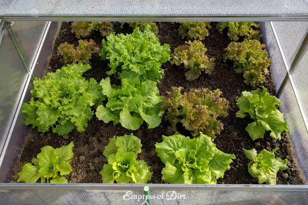 How to Grow Salad Greens that Regrow