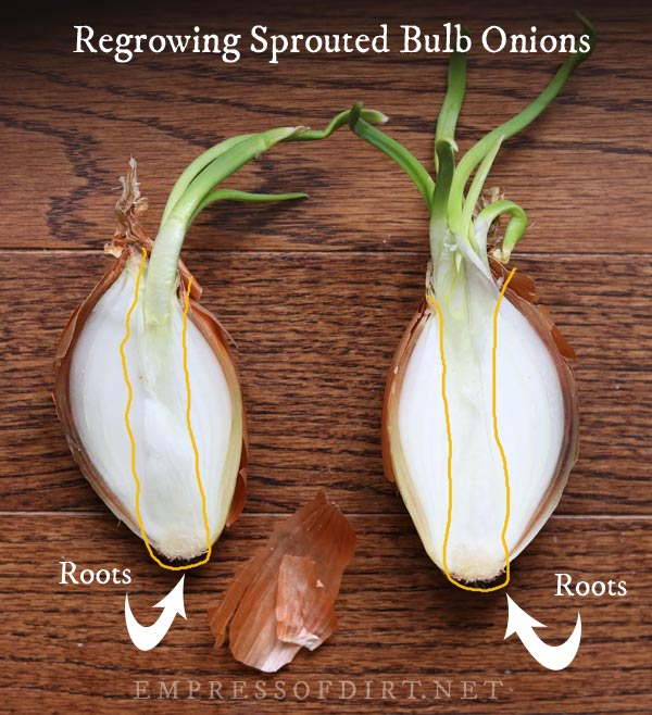 preparing a sprouted onion for regrowing.