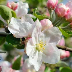 Apple tree blooms with white flowers