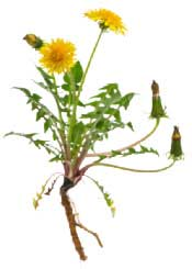 Dandelion plant with yellow flowers, leaves, and long taproot.
