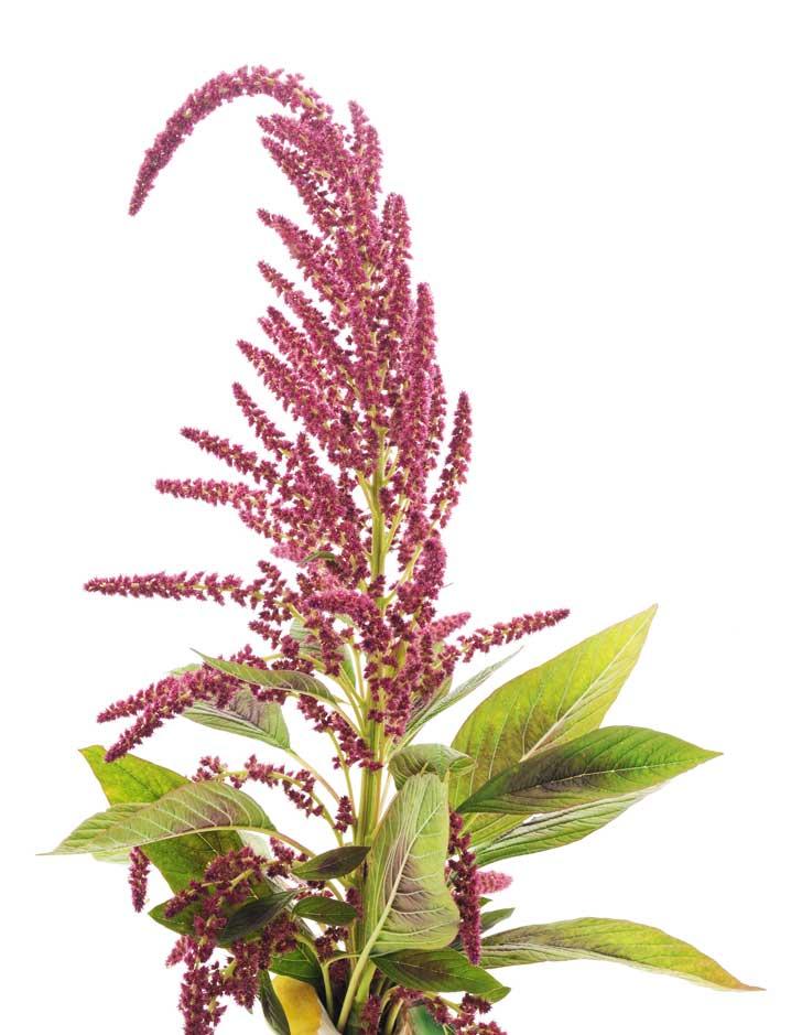 Flor de amaranto
