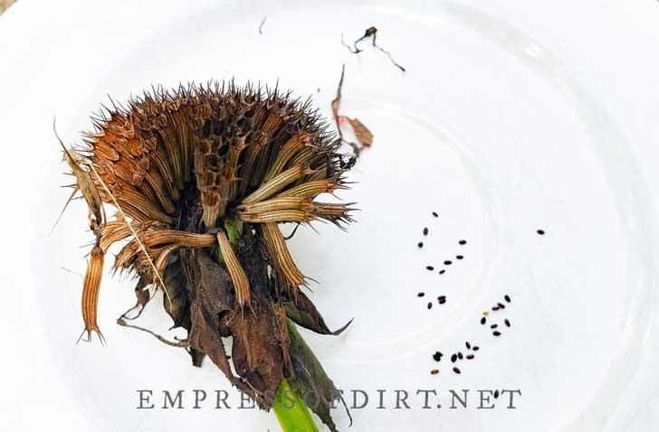 Dry bee balm flowerhead with seeds.
