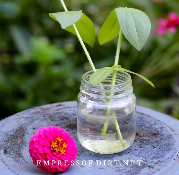 Zinnia cutting growing roots in a jar of water.