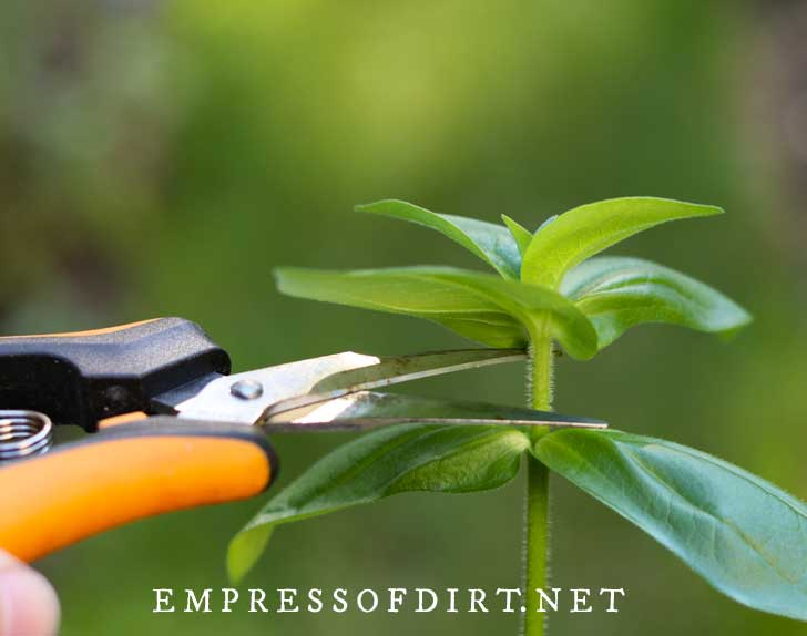 Pinching zinnia stem with snippers.