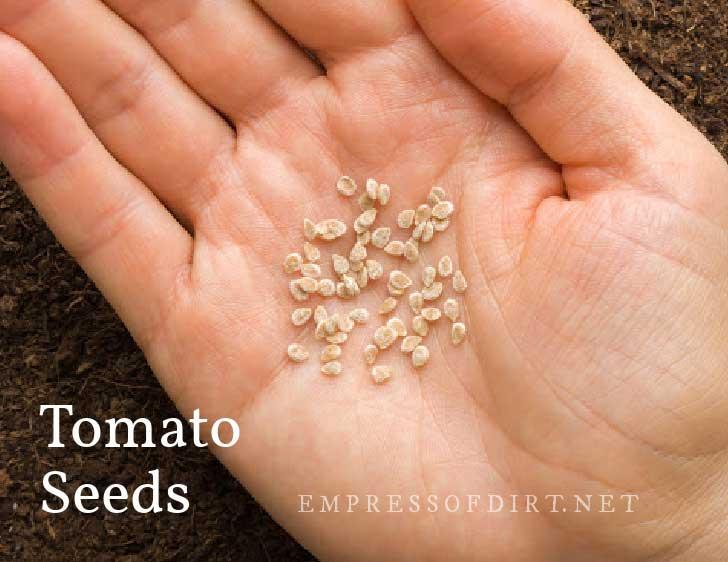 Hand full of dry tomato seeds.