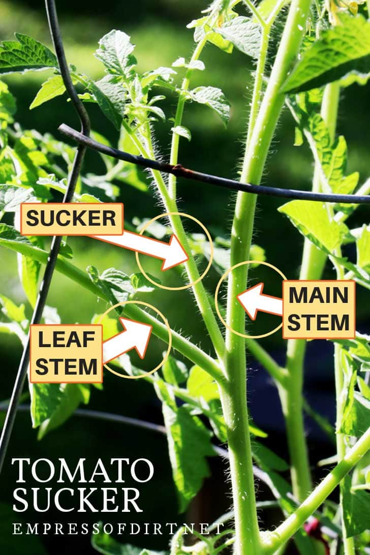 The parts of a tomato plant include the main stem, leaf stems, and suckers which also produce stems and fruit.