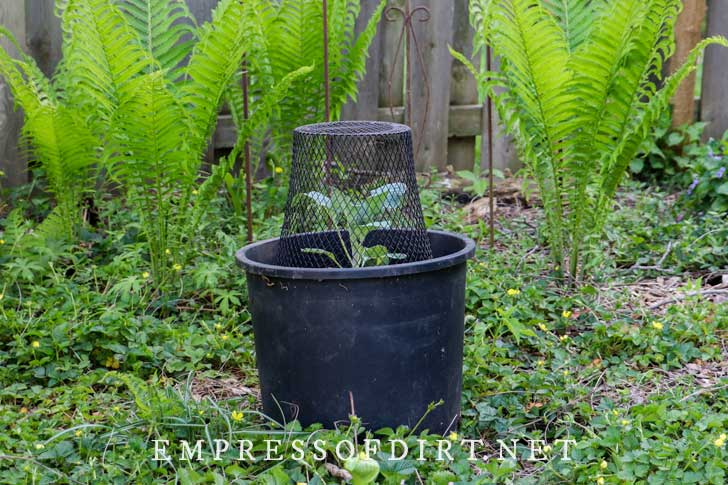 Vegetable plant growing in a pot outdoors, covered in a mesh basket to protect it from predators.