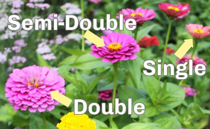 Single, semi-double, and double zinnia flowers.