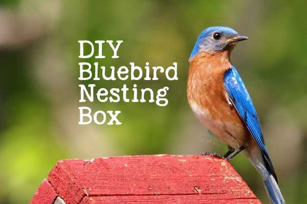 Free building plans for making a bluebird nesting box