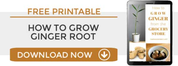 Clickable link to download a copy of the instructions for growing a houseplant from ginger root.