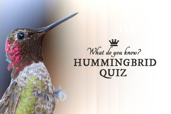 Take the hummingbird quiz and find out if you are a hum-zinger