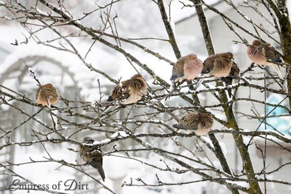 Mourning doves in snowy tree Ontario Canada