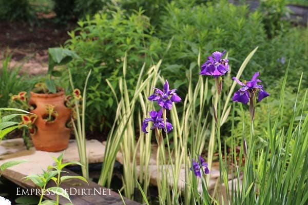 Miniature purple irises in the early summer garden.