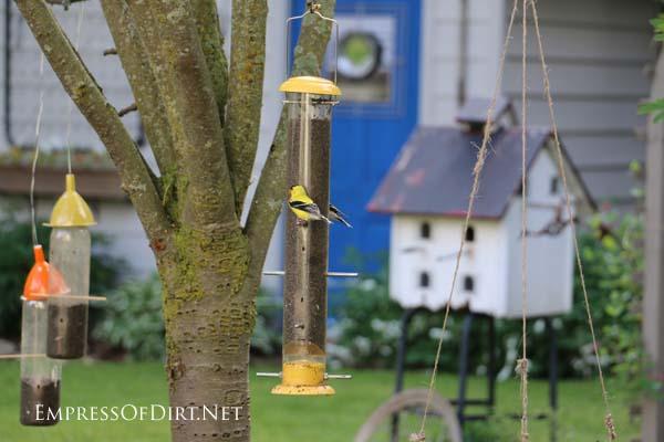 Goldfinch on the bird feeder in the back garden.