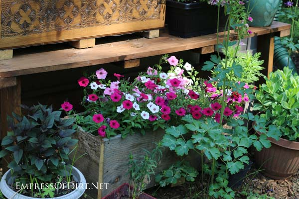 Pink and white supertunias in a rustic, wooden garden planter box.