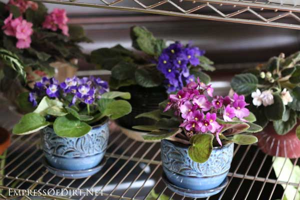 African violets offer year-round blooms with minimal care. And houseplants are happiness in a pot. Seriously.