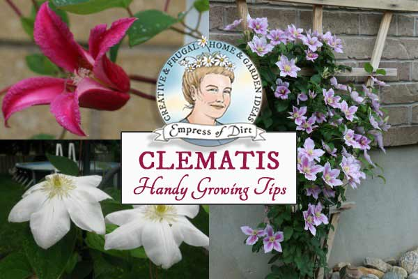 Clematis Easy Care Guide