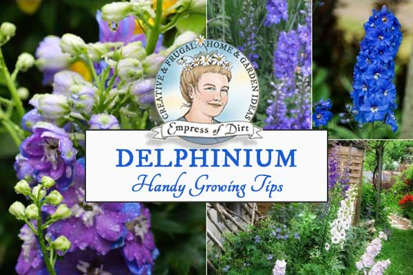 Delphiniums are a favourite flowering perennial for cottage gardens. This fact sheet provides basic information to help beginner gardeners choose the best plants for their gardens.
