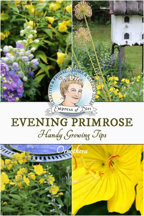 Evening primrose or Oenothera, also known as suncups or yellow sundrops, adds a beautiful burst of colour in the garden.
