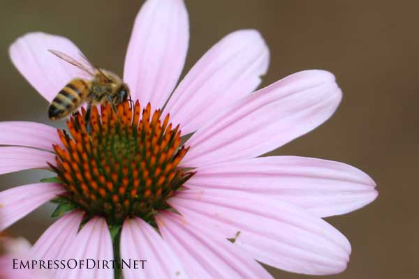 Bee on a coneflower.