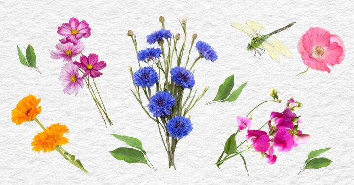 Flowers that can be sown by seed mid-summer.