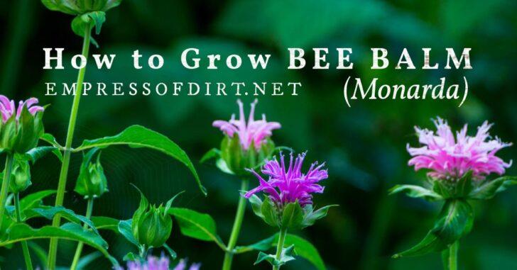 Purple bee balm (monarda) flower.