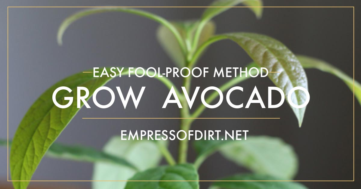 How to Grow an Avocado from Seed | Easy Method | Empress of Dirt